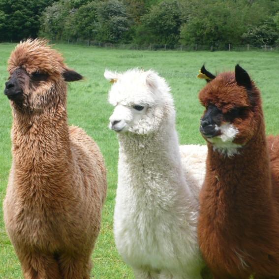 New Alpacas